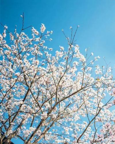 เสี้ยวดอกขาว
